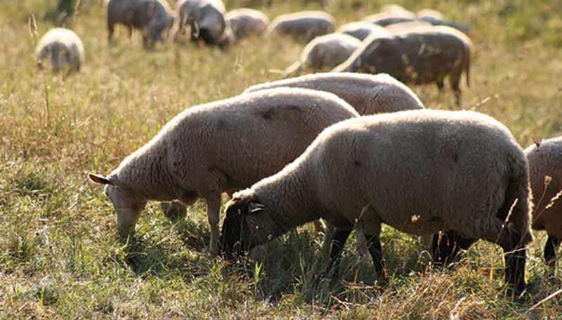 Schafe auf der Weide.